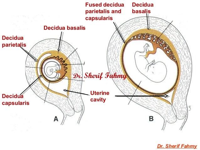 Decidua Amp Chorionic Velli General Embryology