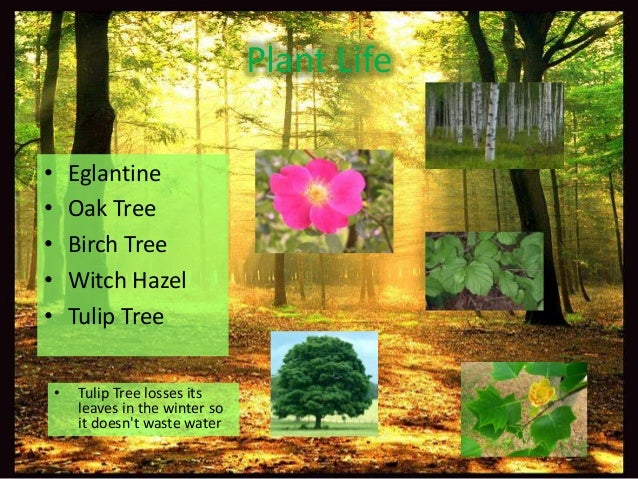 Temperate forest plants names - photo#14