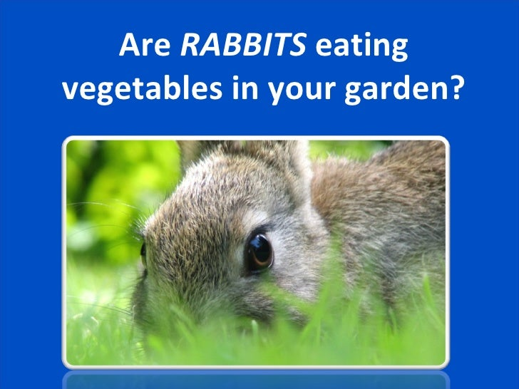Are  RABBITS  eating vegetables in your garden?