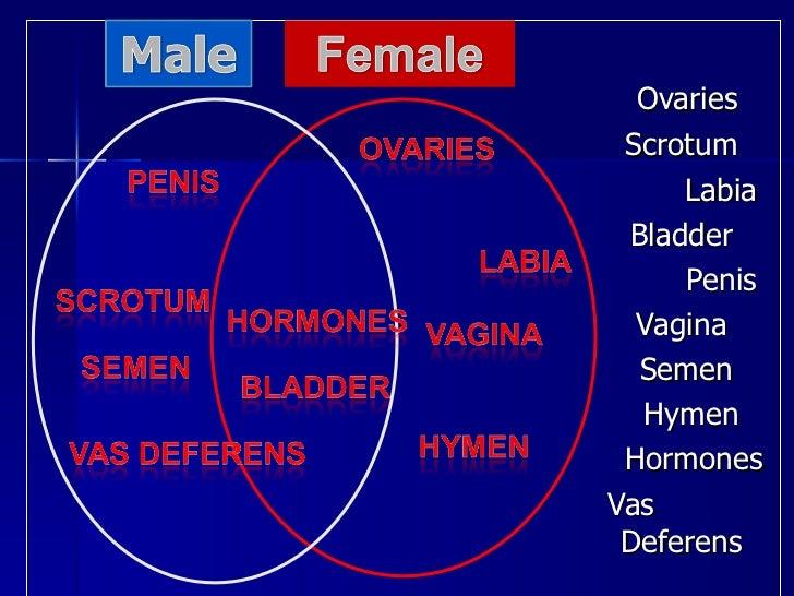 <ul><li>    </li></ul><ul><li>  Ovaries </li></ul><ul><li>  Scrotum </li></ul><ul><li>  Labia </li></ul><ul><li>    Bladde...