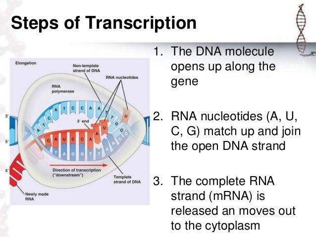 Demo presentation protein synthesis xander jon siose