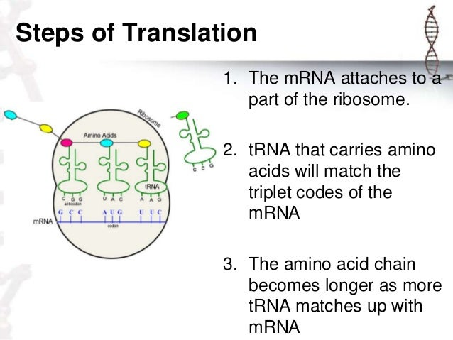 steps in protein synthesis Problem in concept 21: rna is an intermediary between dna and protein, dna from the beginning.