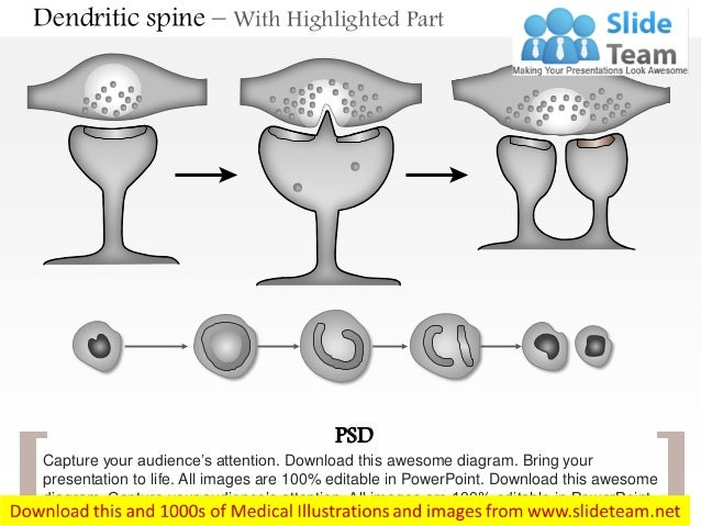Dendritic Spines Diagram Dendritic Spine With