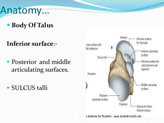 Talus anatomy ct