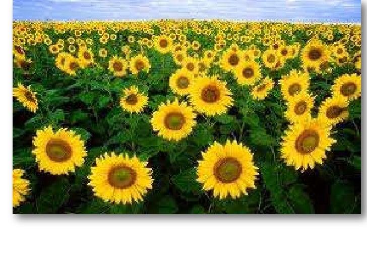 De semente em semente o sorriso do girassol é repassado.