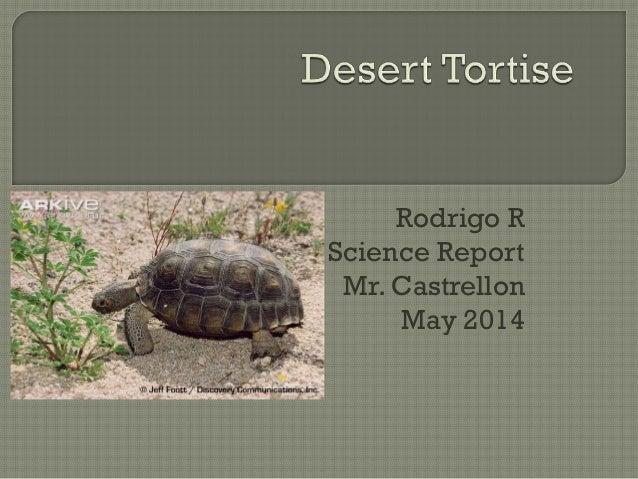 Desert tortoise rodrigo 2014
