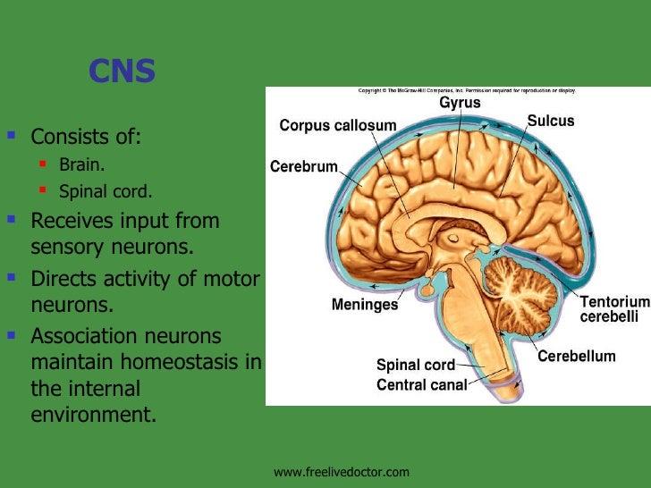 CNS <ul><li>Consists of: </li></ul><ul><ul><li>Brain. </li></ul></ul><ul><ul><li>Spinal cord. </li></ul></ul><ul><li>Recei...