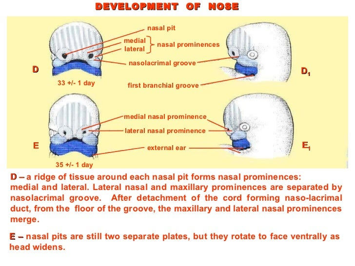 development of head and neck pdf