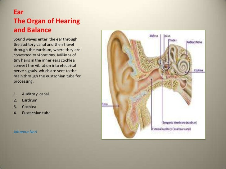 EarThe Organ of Hearingand BalanceSound waves enter the ear throughthe auditory canal and then travelthrough the eardrum, ...