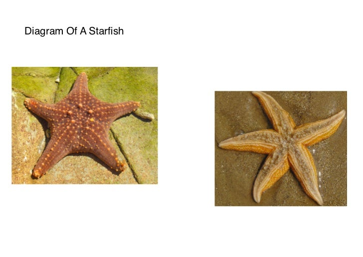 Diagram Of A Starfish
