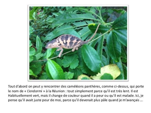 Tout d'abord on peut y rencontrer des caméléons panthères, comme ci-dessus, qui porte le nom de « L'endormi » à la Réunion...