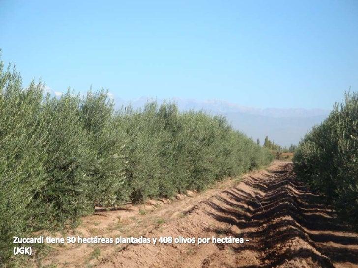 En Argentina se consumen 200 mililitros de aceite de oliva por persona por año – (JGK)
