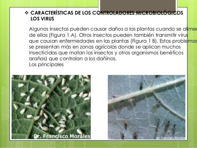  CARACTERÍSTICAS DE LOS CONTROLADORES MICROBIOLÓGICOS LOS VIRUS Algunos insectos pueden causar daños a las plantas cuando...
