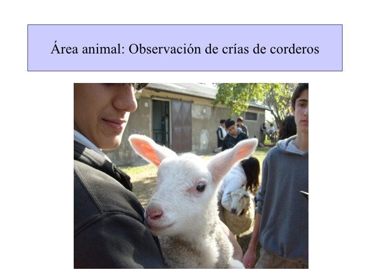 Área animal: Observación de crías de corderos