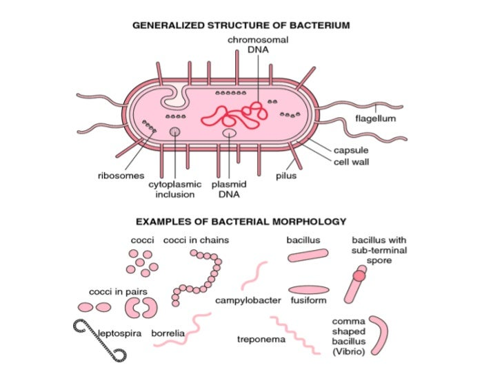 conclusion of an unknown bacteria Remember that gross examination of an unknown bacteria is generally the first step performed in identification while it is helpful in eliminating some.