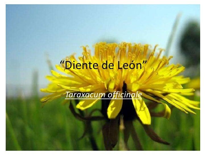 """""""Diente de León""""<br />Taraxacumofficinale<br />"""