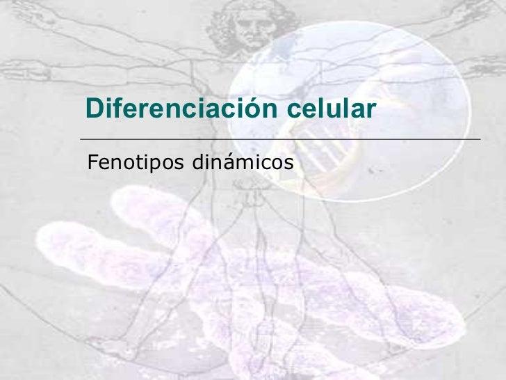 Diferenciación celular   Fenotipos dinámicos