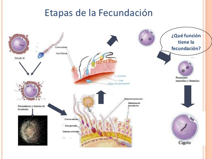 diferenciacion-celular-1-medio ...