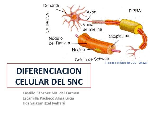 DIFERENCIACION CELULAR DEL SNC Castillo Sánchez Ma. del Carmen Escamilla Pacheco Alma Lucía Hdz Salazar Itzel Iyeharú