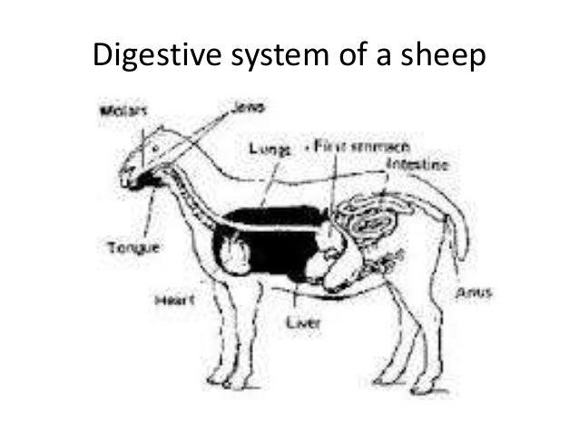 Goat digestive system - photo#13