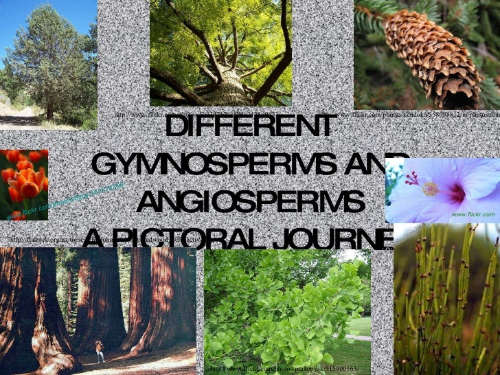 DIFFERENT GYMNOSPERMS AND ANGIOSPERMS A PICTORAL JOURNEY http://www.flickr.com/photos/kendoka/358098812/in/photostream/ ht...