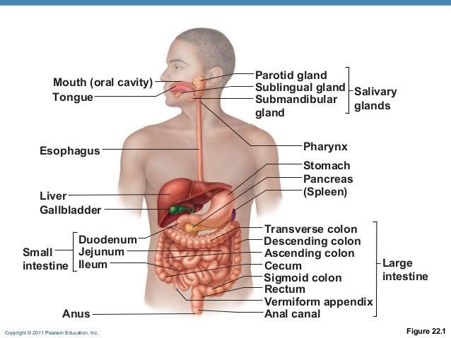 Appareil Digestif moreover Digestive System Pharynx Larynx additionally Gastrointestinal Function in addition Module Physiologie 58 in addition 9736. on pharynx digestion