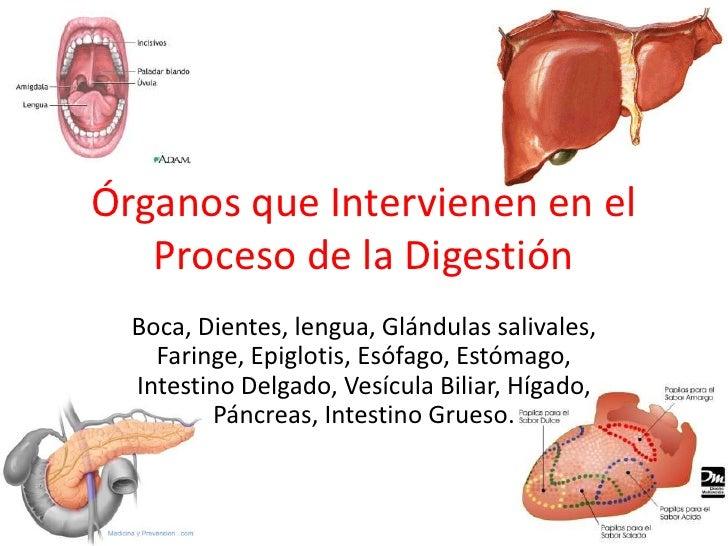 Órganos que Intervienen en el   Proceso de la Digestión  Boca, Dientes, lengua, Glándulas salivales,    Faringe, Epiglotis...