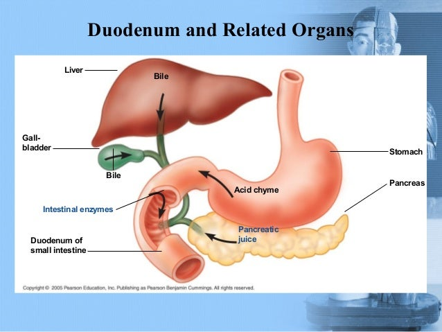 digestive digestion and entire small intestine Most of the absorption part of the digestive process occurs in the jejunum and the ileum of the small intestine, though alcohol is readily absorbed through the stomach the small intestine is lined with minute finger-like processes (called 'villi', a single example being a 'villus'), that greatly increase its surface area, and hence the rate at .