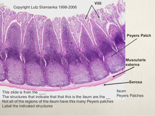 Image Gallery ileum histology