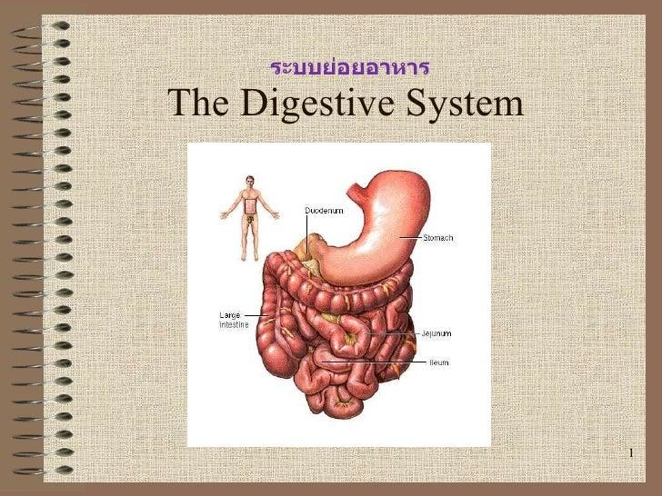 The Digestive System ระบบย่อยอาหาร