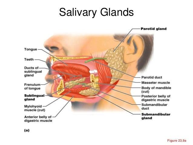 Salivary Glands Diagram Anterior Online Schematic Diagram