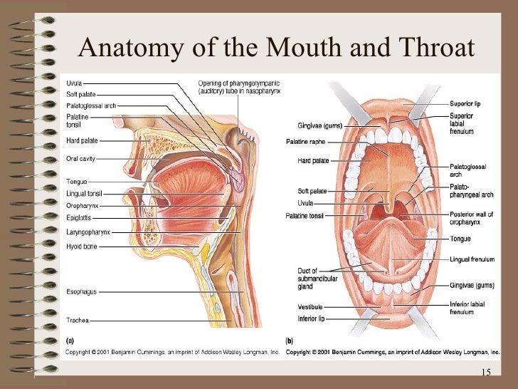 Floor Floor Of Mouth Anatomy