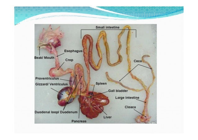 Digestive system of poultry (avian physiology)