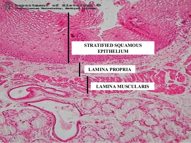 Pics For > Cardiac Stomach Histology
