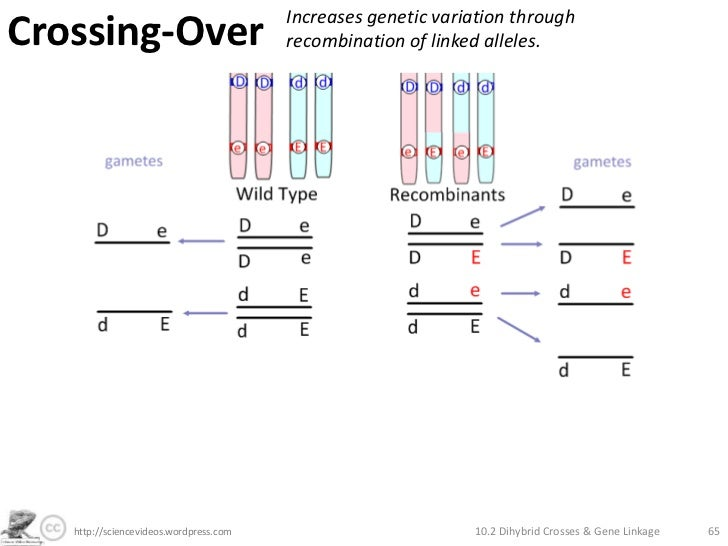 crossing over br increases genetic variation through recombination of ...