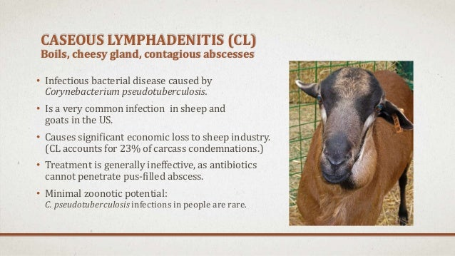 Caseous Lymphadenitis of Sheep and Goats  WADDL Home