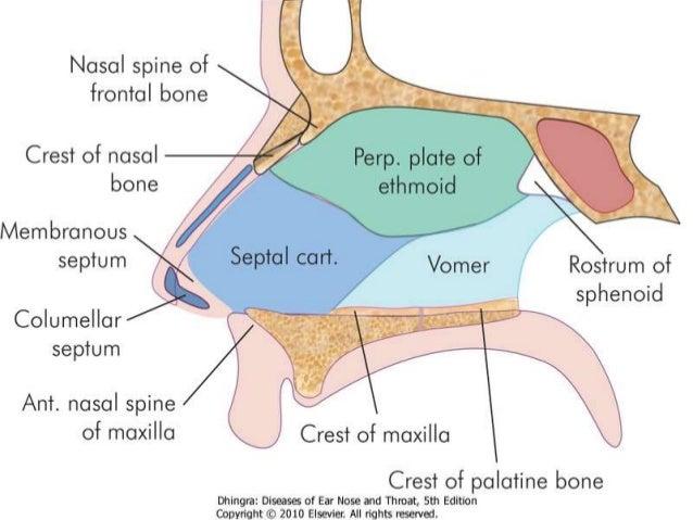 Image Gallery nasal septum bone