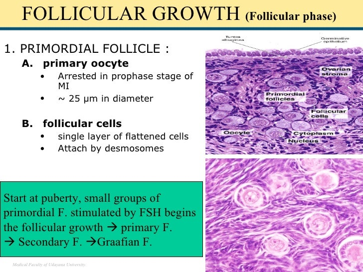 Primordial Follicles Histology Primordial Follicle