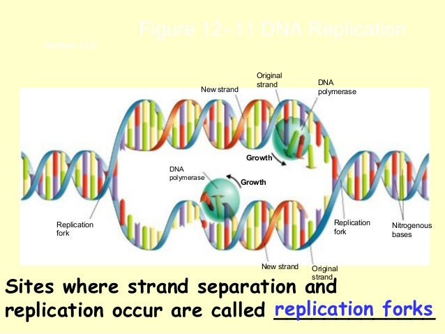 a description of the dna replication in sustaining life and growth Dna structure dna is a long, double helix structure that resembles a ladder which is twisted at both the ends as shown in the above figure the dna molecule is composed of basic materials called as nucleotides and each nucleotide is comprised of three different components such as sugar, phosphate groups, and nitrogen bases.