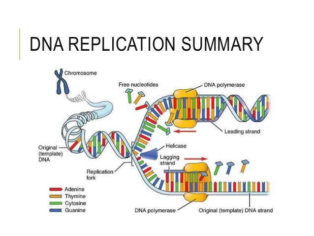 13 rna and protein synthesis