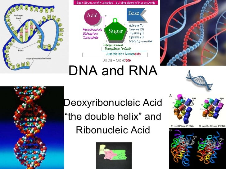 """DNA and RNA Deoxyribonucleic Acid """" the double helix"""" and Ribonucleic Acid"""
