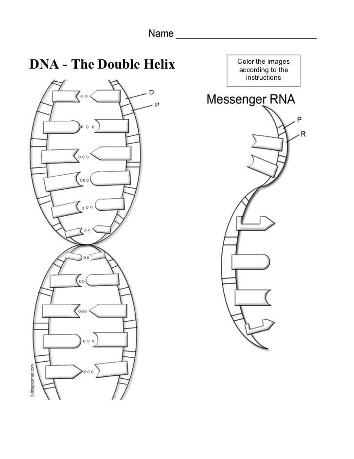 Nucleotides Dna Model Cut Out Worksheet Sketch Coloring Page