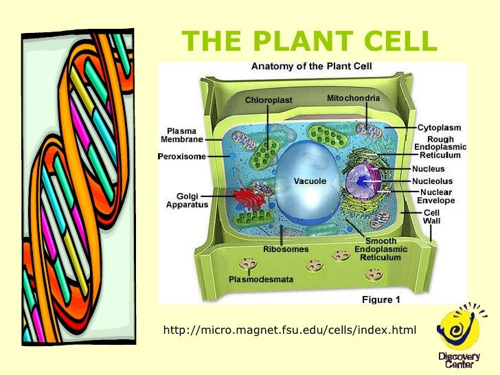 Plant Cell Nucleus  Microscope