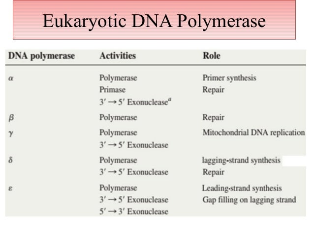dna polymerase synthesises In addition to dna polymerase, the enzyme that synthesizes the new dna by adding nucleotides matched to the template strand, a number of other proteins are associated with the fork and assist in the initiation and continuation of dna synthesis dna replication can also be performed in vitro (outside a cell.