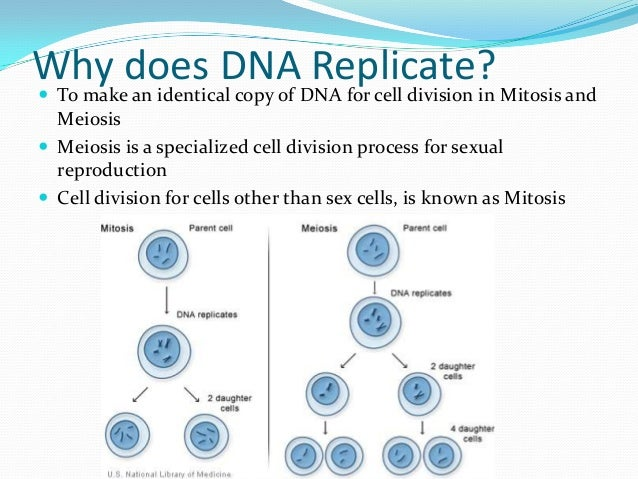 Mitosis dna structure and dna replication review worksheet answers