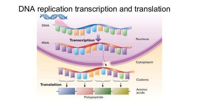 Dna replication transcription and translation