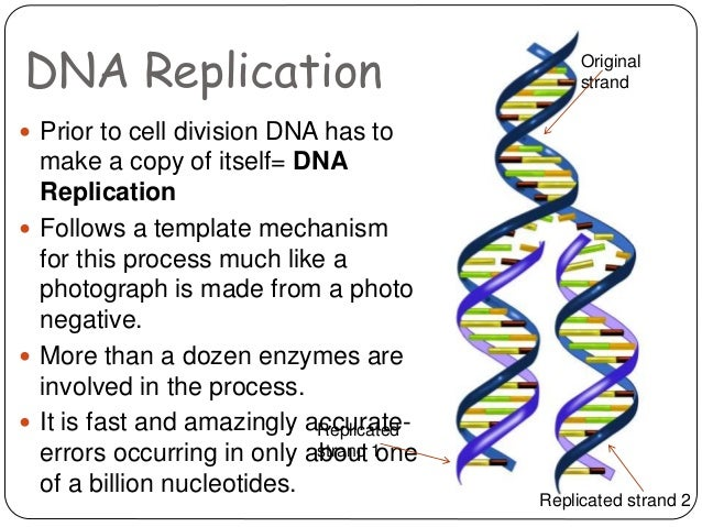 dna structure and replication essay The dna strand that provides the template for ordering the sequence of nucleotides in an rna transcript template strand the newly made strand of dna after dna replication has occured daughter strand we will write a custom essay sample on chapter 12: dna replication and manipulation or any similar topic only for you order now [.