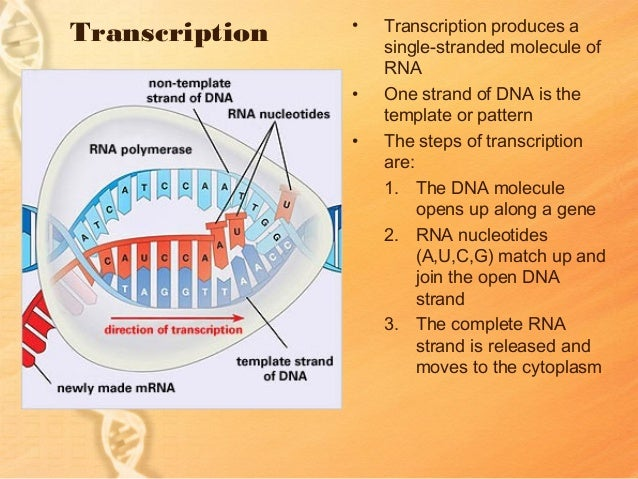 Dna rna transcription lessons tes teach dna for middle school science 3 transcription produces ccuart