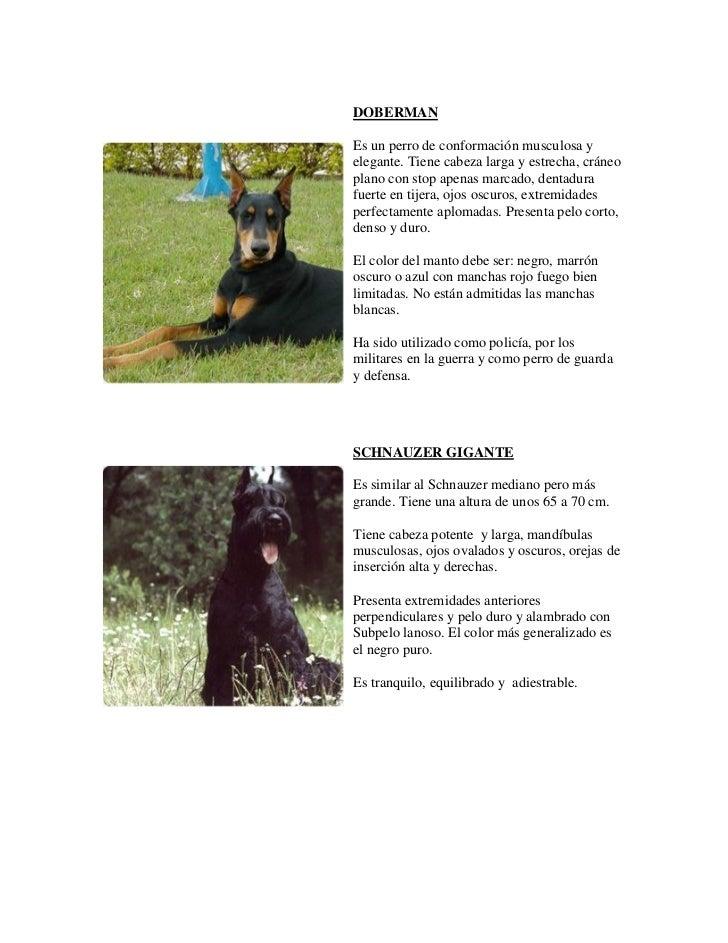DOBERMANEs un perro de conformación musculosa yelegante. Tiene cabeza larga y estrecha, cráneoplano con stop apenas marcad...