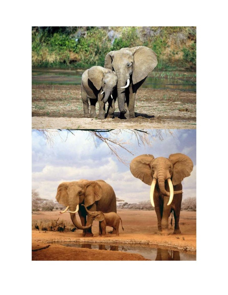 Los elefantes en peligro de extinción.